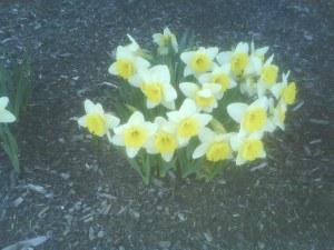 Daffodils at Moncton Riverfront Park, Apr.30.09