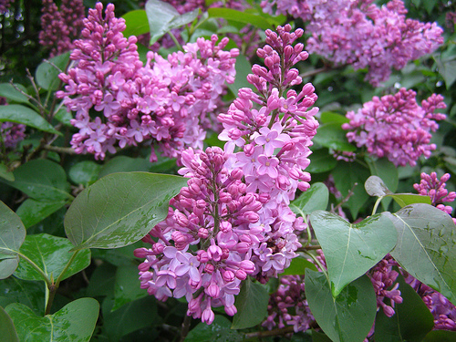 Lilacs coming into bloom (File)