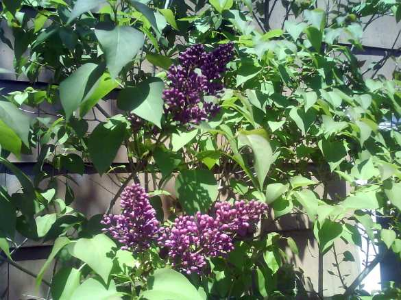 Lilacs in bloom (file)