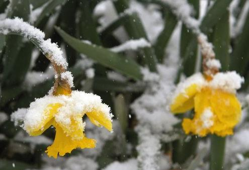 Daffodils under snow, St. Louis, Missouri, USA, 24 March 2013 (AP)