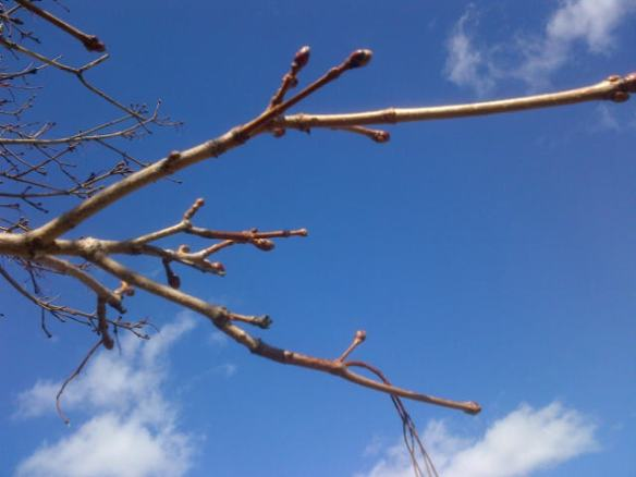 Tree in bud at Riverfront Park, Moncton, 17 April 2013 (Dearing)
