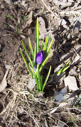 A hardy crocus growing in Moncton, 31 March 2013 (TWN)