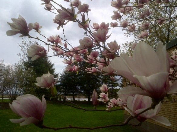 Magnolia trees in bloom at Moncton's Riverfront Park, 09 May 2013 (Dearing)