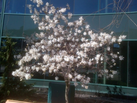 Magnolia tree in bloom at Moncton City Hall, 06 May 2013 (Dearing)