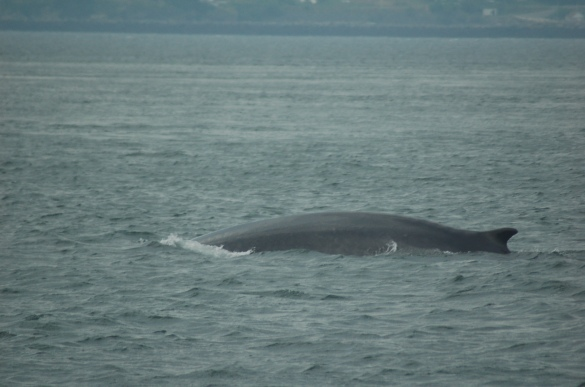 Fin Whale in Passamaquoddy Bay, 17 July 2013 (Robert Miller photo)