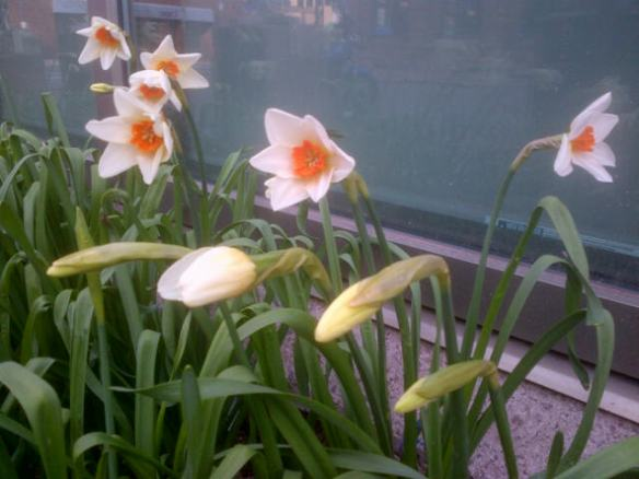 Hardy daffodils growing in downtown Moncton, 09 May 2014 (Dearing)