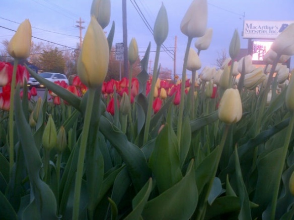 A bed of tulips in Moncton, 30 May 2014 (Dearing)