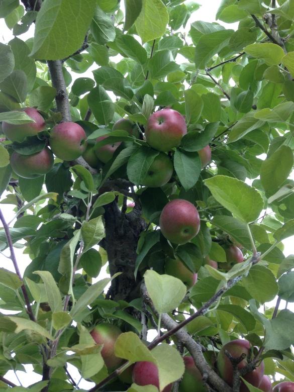 Calm before the storm, Belliveau Orchard, Memramcook, NB, 21 Sept 2014 (Dearing)