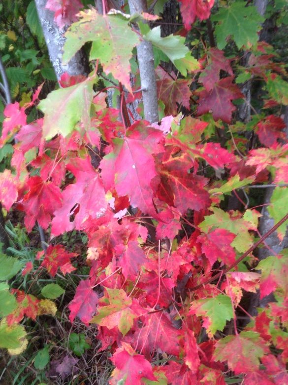 Maple tree showing its fall colours, Fairview Knoll Park, Moncton, NB, 04 Oct 2014 (Dearing)