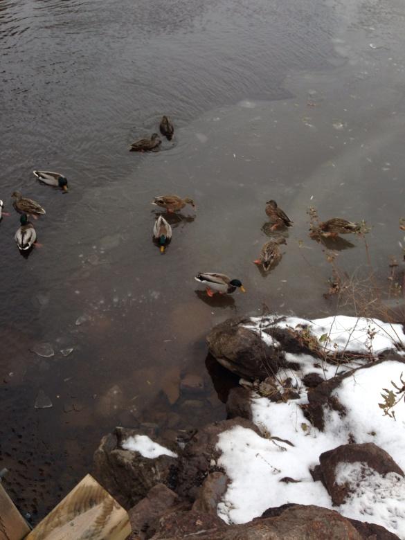 Centennial Park Lake, Moncton, NB, 23 Nov 2014 (Dearing)