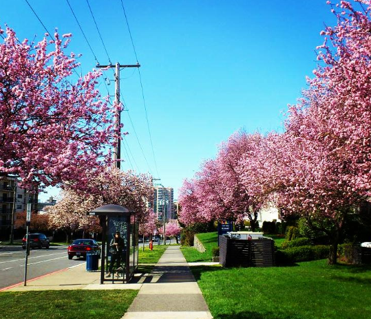 Cherry blossoms in Victoria, BC, 28 February 2015 (Twitter)
