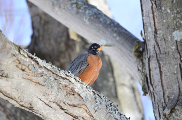 A robin in Moncton, 15 April 2015 (TWN)