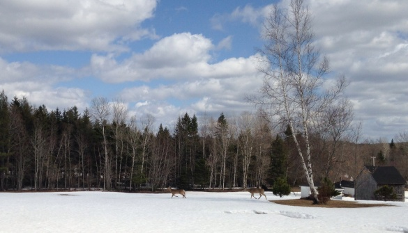 Two deer in a snowy field near Elgin, NB, 19 April 2015 (Dearing)