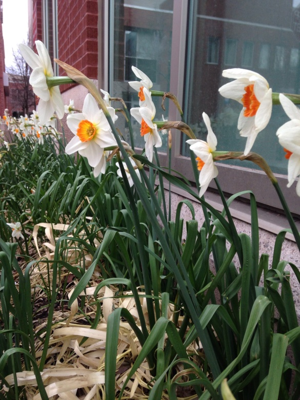 Daffodils in downtown Moncton, 09 May 2015 (Dearing)