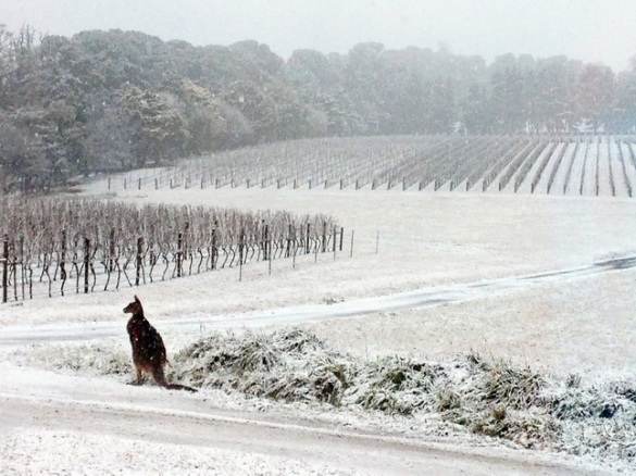 A kangaroo in a snowy vineyard, Orange, New South Wales, Australia, 16 July 2015 (Bill Shrapnel)