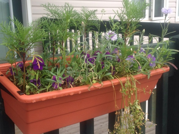 Flower box in NE Moncton, 22 July 2015 (Dearing)