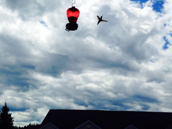 Hummingbird flies away from feeder in NE Moncton, 29 July 2015 (Dearing)